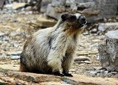 A Marmot in Glacier National Park