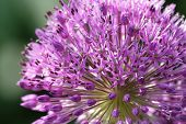 Allium detail