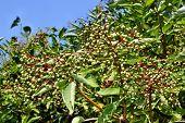 Growing Elderberry Fruits