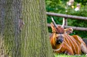 foto of bongo  - Bongo antelope in zoo - JPG