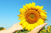 Female hand holding sun flower in field