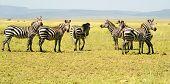 Six Zebras