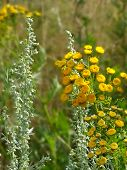 Tansy Flowers In A Field