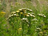 pic of tansy  - Photo tansy flowers in a field at dawn - JPG