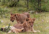 Young Lions At Etosha National Park