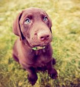 a cute chocolate lab puppy sitting in the grass