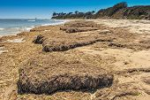 Mounds Of Seaweed On The Beach Dry