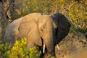 African elephant (Loxodonta africana) with large flapping ears, Sabie-Sand nature reserve, South Afr