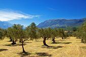 Olive grove in Abruzzo region, Italy