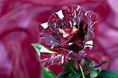 a rose in crimson