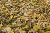 Linden leafs on green grass at autumn