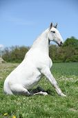stock photo of lipizzaner  - Amazing sitting white horse in spring nature