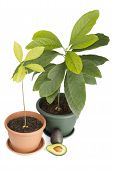 Two avocado plants and fruits