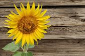 Sunflower On Background Of The Old Wooden Fence