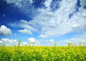 beautiful flowering rapeseed field under blue sky with clouds