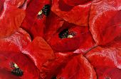 Red Poppy Flower Background