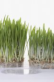 Grass seedlings