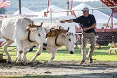 Oxen Pulling Contest