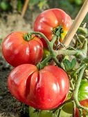 Bunch of tomatoes ripening on shrub