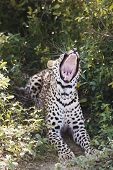 Leopard (Panthera pardus) lying in bushes yawning