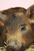 Extreme closeup of a brown pig resting