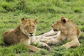 Female lions (Panthera leo) lying on grass
