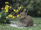 Rabbit Eating Yellow Clover