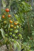 Closeup of ripening tomato plant
