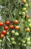 Closeup of ripening tomato plant