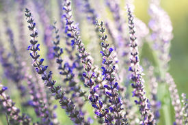 stock photo of clary  - blooming wild sage in the wind in the morning light of the sun  - JPG