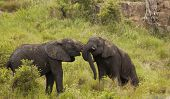 South African young male elephants play fighting.