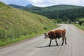 Cow on the mountain road.