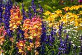 Snapdragons in flower garden
