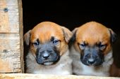 stock photo of belgian shepherd  - Funny young puppies belgian shepherd malinois in dog house - JPG