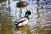stock photo of male mallard  - The Male mallard in the lake - JPG
