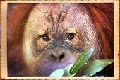 stock photo of face-fungus  - Reading thoughts look of an orangutan male. Wild beauty of a human-like monkey. Expressive face of a great ape