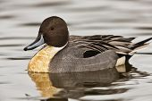 Northern Pintail duck - Anas acuta