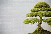 Bonsai Tree In Flower Pot With Copy Space