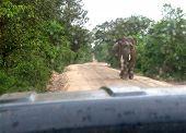 Male Sri Lankan Elephant