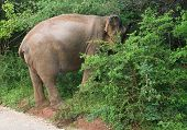 stock photo of tusks  - Male Sri Lankan elephant with tusks walking on dirt road and grazing in foliage in Yala National Park Sri Lanka Southern Province Asia - JPG