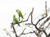 Two Rose Ringed Parakeet