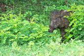 Wild Boar Peeping Out From Behind A Bush