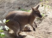 little kangaroo with baby in pouch in a Siberian zoo