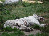 sleep white tiger in the Siberian zoo
