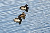 Ring-necked Ducks Swimming On The Water