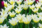 Beautiful White Tulips Closeup.