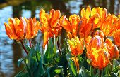 Multicolored Tulips In Spring Park.