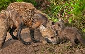 Red Fox Vixen (vulpes Vulpes) Greets Her Kit
