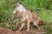 image of coyote  - Coyote  - JPG
