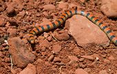 stock photo of harmless snakes  - A little colourful western ground snake travelling in the desert - JPG